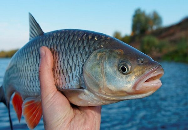 souls-fishes